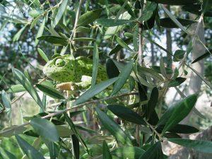 Kameleon in olijvengaard